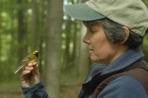 Stutchbury Hooded Warbler low res